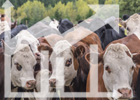 Cattle futures are looking up