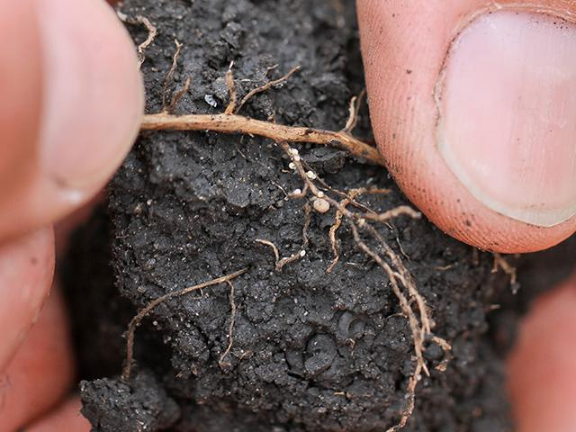 Has it been a banner year for soybean cyst nematode (SCN) in your area? Fall is the perfect time to find out by soil testing. SCN females (small white dots) are small compared to larger, nitrogen-fixing nodules, but put a dent in yield. (DTN photo by Pamela Smith)