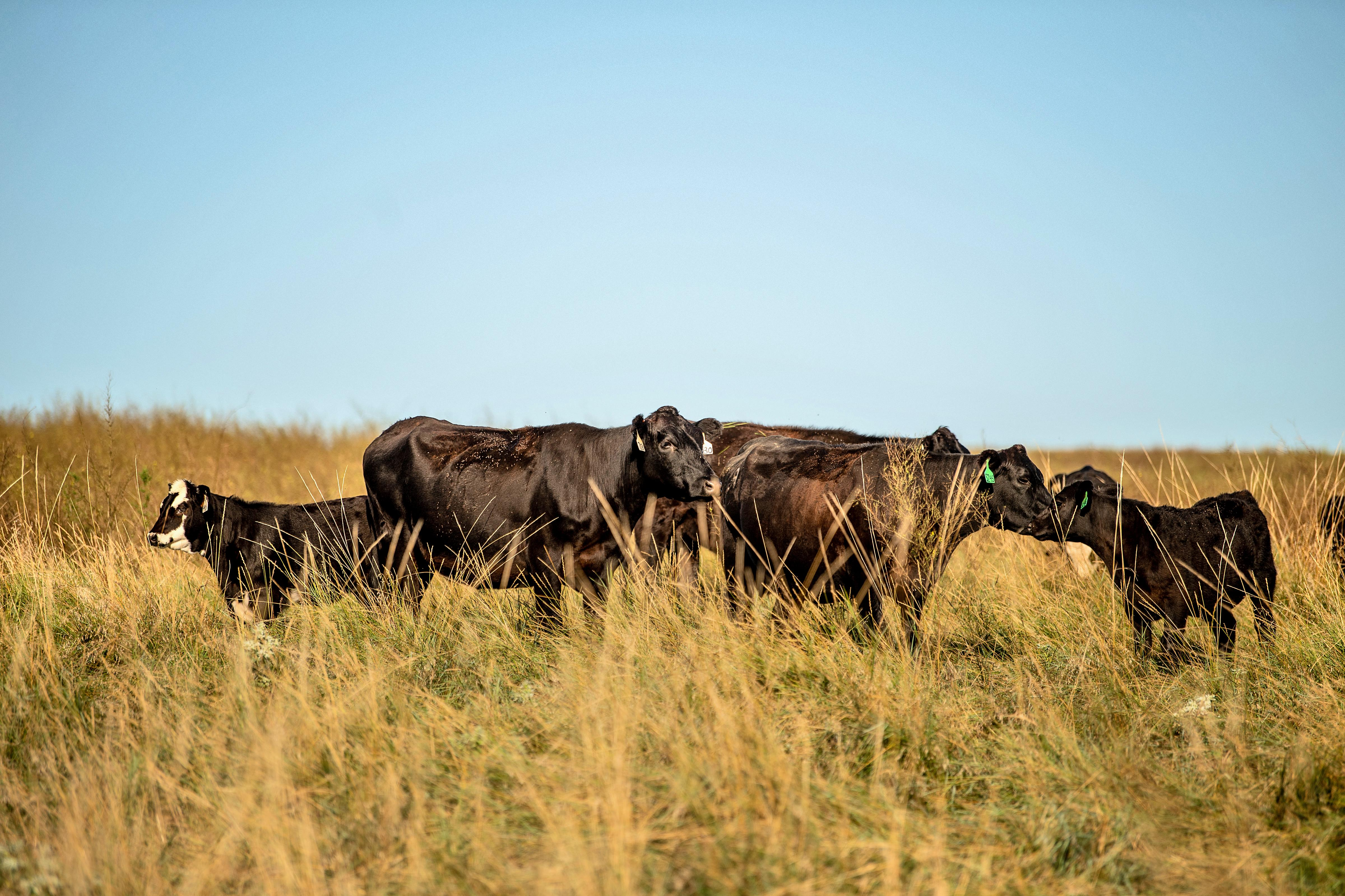 Seeing stronger undertones in not only the feeder cattle market, but also the cow-market. (Photo by Greg Latza)