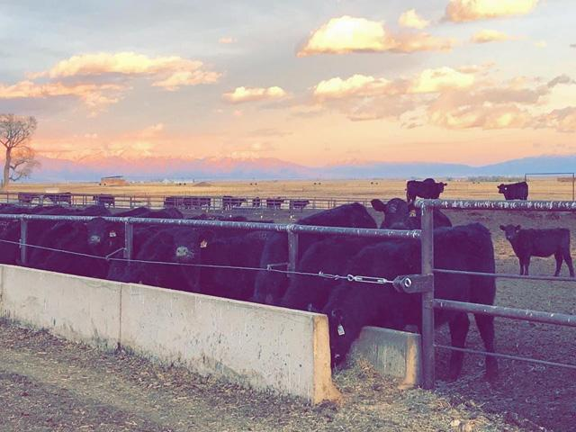 Steer calves enjoy a beautiful sunset while they clean the feed bunk. (DTN photo by ShayLe Stewart)