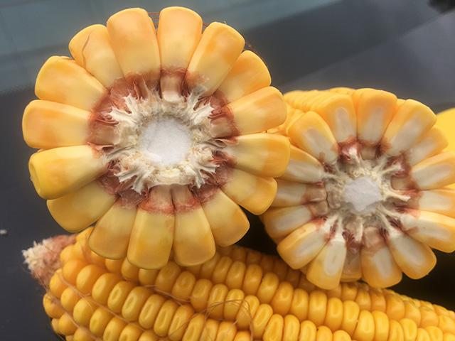 Counting kernels is one way to get an idea of how yields stack up this year. (DTN photo by Pamela Smith)