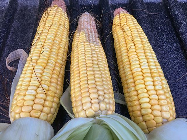 Variability still exists even in the best of years. Sample pulled from Macon County, Illinois, shows some pollination issues. (DTN photo by Pamela Smith)