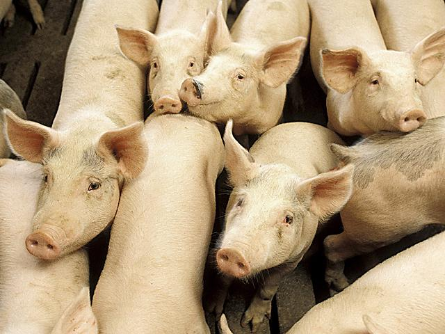 A growing number of congressmen are asking the Trump administration to use the Federal Emergency Management Agency (FEMA) to help livestock producers forced to euthanize animals. (DTN file photo)