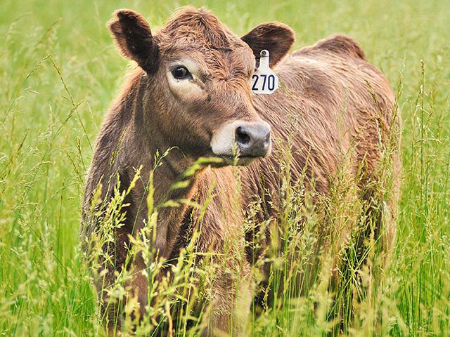 万宝路位于蒙大拿州的 Crazy Mountain Ranch 的新买家表示,它没有计划在近 18,000 英亩的牛犊业务上进行住宅开发。 (进步农民照片,吉姆帕特里科)
