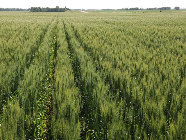 A spring wheat pre-harvest update showed a wide range of spring wheat conditions throughout North and South Dakota, Montana and Minnesota. (DTN file photo)