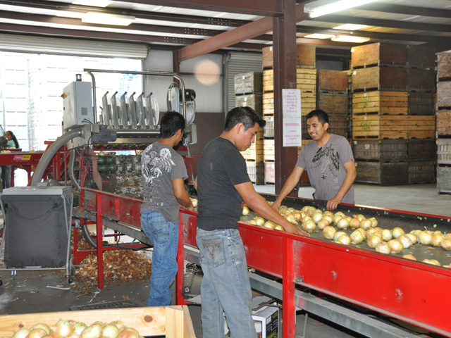 The House of Representatives is taking up a bill that would overhaul the H-2A program. In a Georgia farm, workers sort through Vidalia onions. (DTN file photo)
