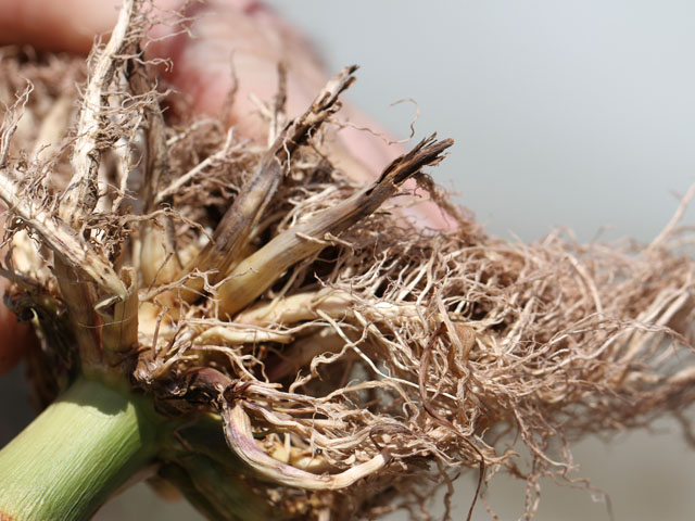 Managing western corn rootworm requires a system approach to management which includes digging and looking at roots and managing traits. (DTN photo by Pamela Smith)