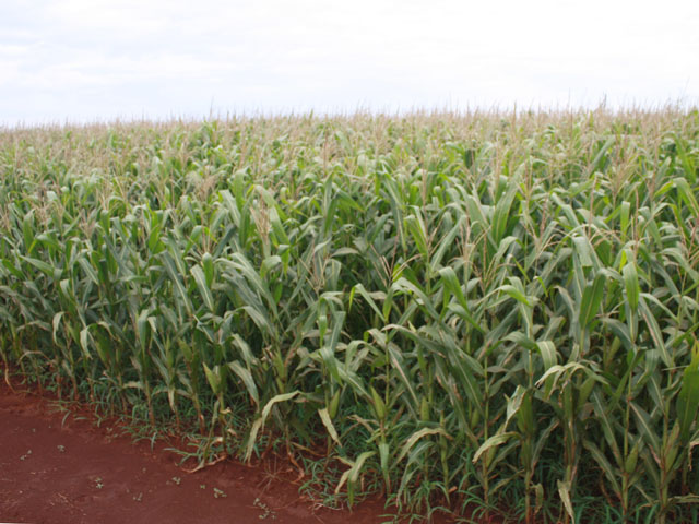 Summer corn in Campo Mourao, Parana in Brazil. (DTN photo by Alastair Stewart)
