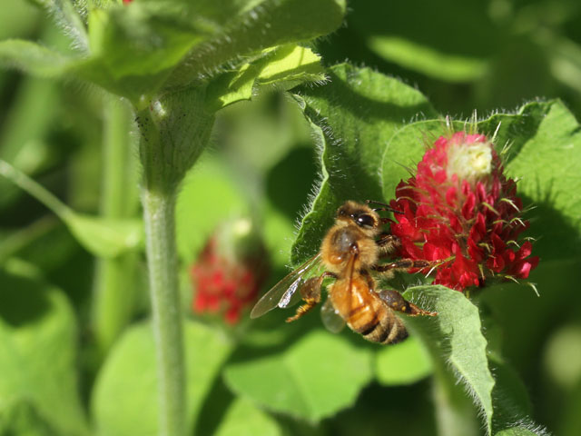 A worker bee hits the crimson clover patch for a tasty snack last spring. By fall, this colony had vanished. (DTN photo by Pamela Smith)