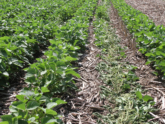Sprayer tracks beyond certain growth stages can result in soybean yield loss. (DTN photo by Pamela Smith)