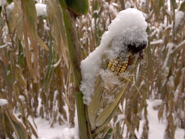 A major winter freeze and snowstorm could end the growing season for many immature corn and soybean fields in the northern Midwest this week, creating harvest challenges. (DTN file photo by Scott R Kemper)