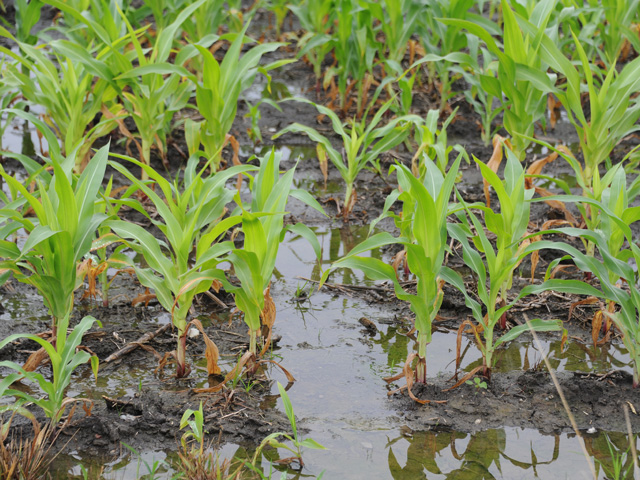 This late-planted and very wet field in Indiana is typical of many this season where the rains have just kept coming. (DTN photo by Pamela Smith)