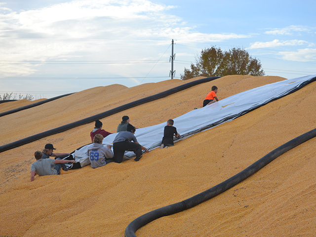 The Le Sueur-Henderson wrestling team lends some muscle to Patriot Grain owner Tyler Sunderman, helping tarp one of the elevator's two 100,000-bushel corn piles. (Photo courtesy of Patriot Grain, Cleveland, Minnesota)