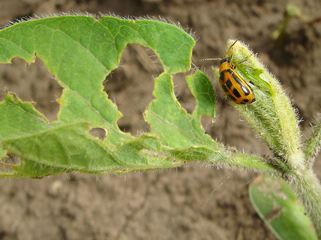 Bean leaf beetles are one of the sporadic pests that neonicotinoid seed treatments help keep at bay in soybeans. However, a new look use calls into question routine use. (DTN photo by Pamela Smith)