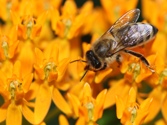 Bees love butterfly weed, but a new study shows honeybees collect most of their pollen from sources other than corn and soybeans; still, pesticides remain an issue. (DTN photo by Pamela Smith)