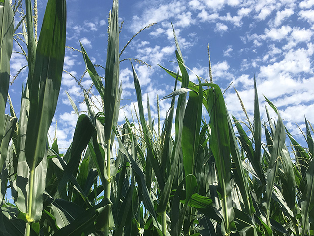 Most of the 2016 corn crop is off to a good start on pollination, and indications are that big-time heat will not threaten its overall condition during the next two weeks. (DTN photo by Bryce Anderson)