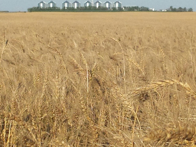 This ripe spring wheat field waits for harvest this past summer near Gettysburg, South Dakota. (Photo courtesy of Tom Luken, Onida, South Dakota)