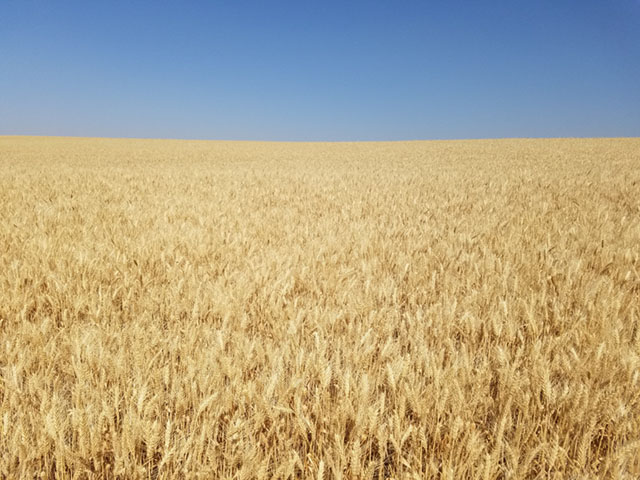 This soft white winter wheat field is located near Lewiston, Idaho. (Photo courtesy of Joseph Anderson)