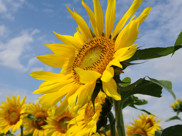 Sunflowers face east in the morning and once they flower stay put to gather in the morning sun. (DTN Photo by Pamela Smith)