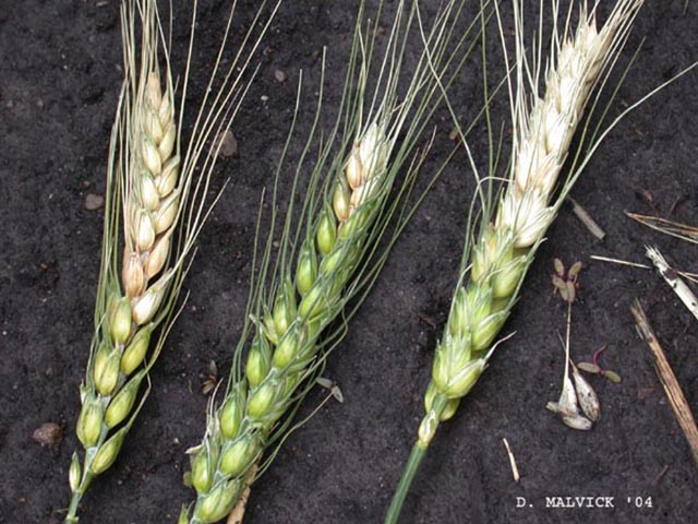 This photo shows fusarium head blight (scab) of wheat. (Photo by Dean Malvick, courtesy of the University of Illinois Department of Crop Sciences)