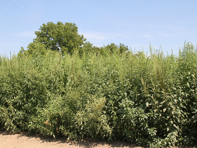There are soybeans somewhere in this mess of Palmer amaranth, a prolific seed producer, with the ability to sidestep many herbicides. (DTN photo by Pamela Smith)