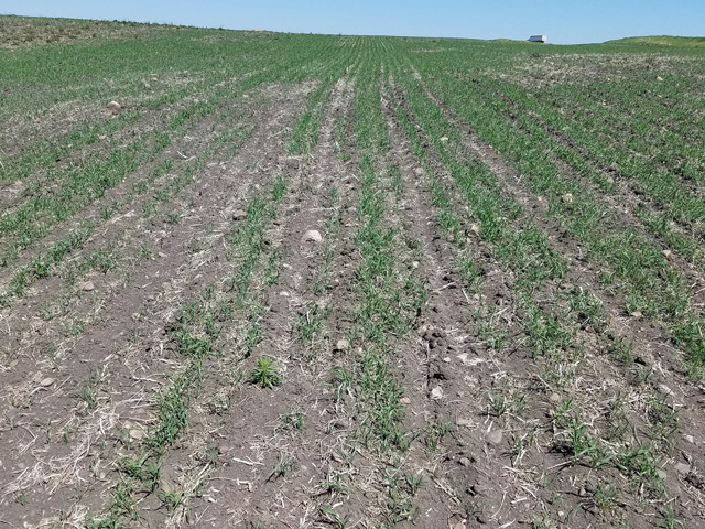 Later-seeded spring wheat is showing signs of drought stress in south-central North Dakota. (Photo courtesy of Mark Rohrich, Rohrich Farms Ashley, North Dakota)