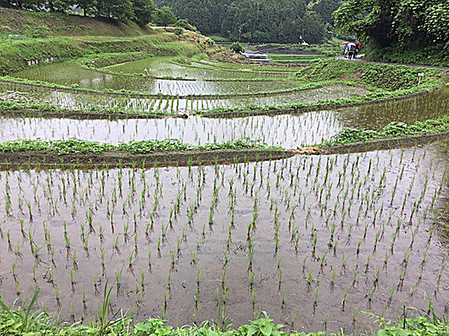 Rice fields in the rain, late June 2017, Nara prefecture, Japan, a few miles from the homestay host's house. (DTN photo by Urban C. Lehner)