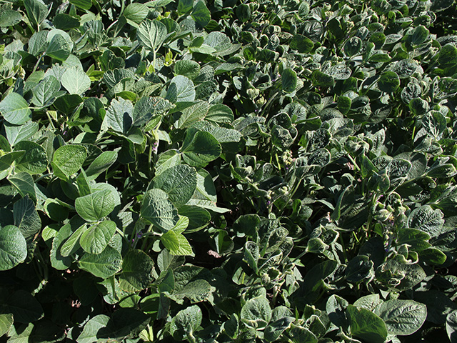 Soybean producers are divided by issues swirling around herbicide drift. In this field of Illinois soybeans, a test strip of Xtend soybeans (left) withstood the off-target movement of dicamba from a neighboring field, while the sensitive crop was puckered and cupped one-half mile into the field. (DTN photo by Pamela Smith)