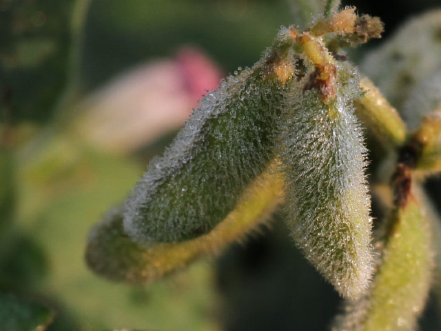 Heavy morning dew was more welcome than any early frost on these Nebraska soybeans on Sept. 3 (DTN photo by Elaine Shein)