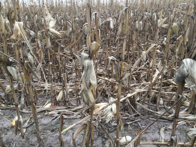 Much of eastern Nebraska -- including the Quinn farm -- saw wind-downed corn late in the season. (DTN photo by Russ Quinn)