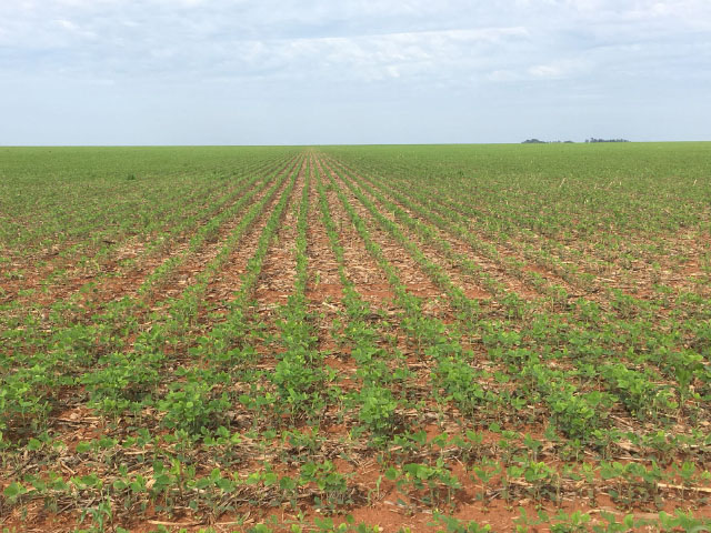 Brazilian soybean planting is behind last year's pace, but still at the five-year average time for planting. Ricardo Arioli Silva took this photo of emerging soybean plants on his farm Nov. 2 near Campo Novo, Mato Grosso. (Photo courtesy of Ricardo Arioli Silva)