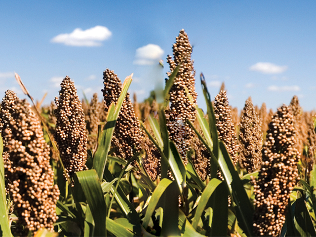Grain sorghum's drought tolerance and thrifty moisture requirements are very popular in hard-hit Plains crop areas this season. (Photo courtesy of the National Sorghum Producers)