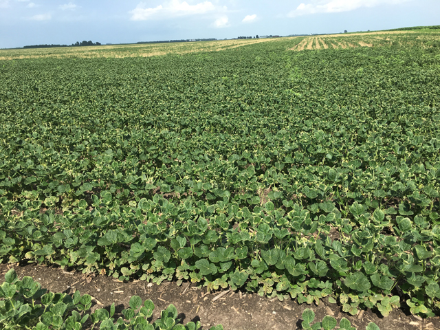 This field of non-GMO soybeans in central Illinois, near Cerro Gordo, was showing the classic symptoms of dicamba exposure this week. (DTN photo by Pamela Smith)