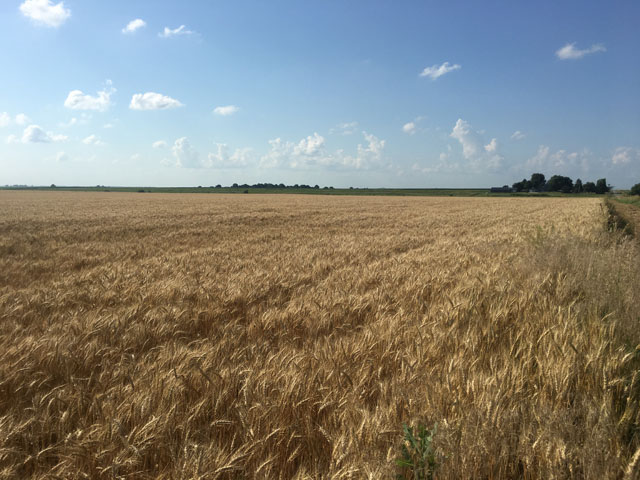 Wheat awaits harvest in central Illinois near Warrensburg. Not only is it a good rotation crop, but also it can be the start of a healthy meal. (DTN photo by Pamela Smith)