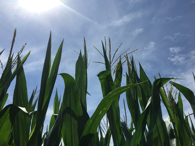 Corn pollination is running about a week ahead of average, with ratings just above a record year back in 2014. (DTN photo by Pam Smith)