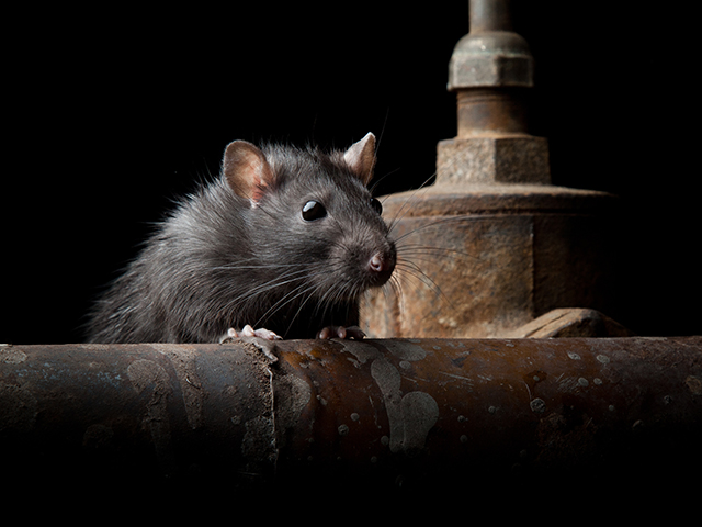 If someone tells you they have a sure-fire fix for their rodent problems, that person is not telling the truth. Think management, not the eradication of your mouse and rat problem.