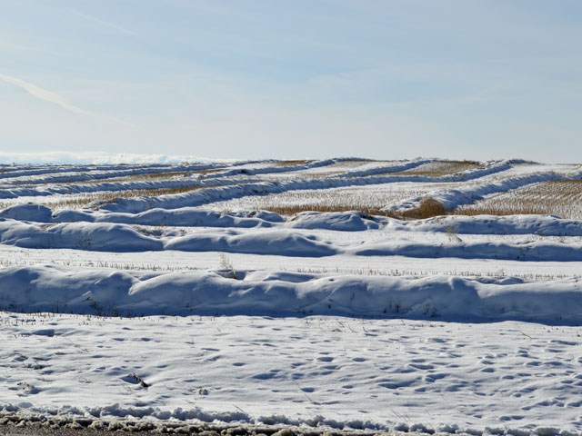 Snow on top of canola swaths near Calgary, Alberta shows the challenge that some Western Canadian farmers are having as they try to harvest their crops. (DTN photo by Cliff Jamieson)