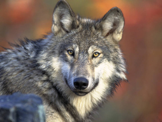 The gray wolf has been the subject of several court battles over whether the animals should remain protected under the Endangered Species Act. (Photo by Gary Kramer, US Fish and Wildlife Service)