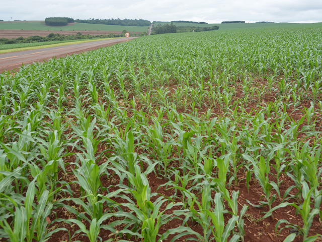 This corn was planted just over three weeks ago in southern Parana state in Brazil, near the Argentina border. The farmer was disappointed in his soybean yield due to a shortage of rainfall, but recent rains had hit the area as his corn was planted. (DTN photo by Chris Clayton)