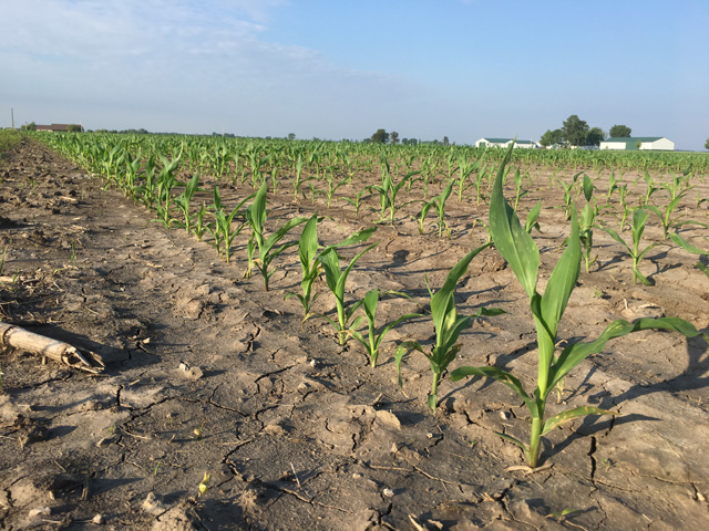 Uneven corn development in Montgomery County, Illinois, is typical of the impact of heavy rain and generally cool temperatures so far in the 2019 crop year. (DTN photo by Pamela Smith)