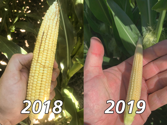 A side-by-side comparison of photos from the same cornfield in Custer County, Nebraska, illustrates the dramatic lag in crop development between late July 2019 and late July 2018. (Photos courtesy Casey Cooksley)