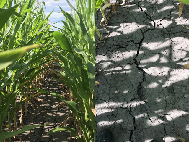 This cornfield in Schuyler County, Illinois, (west-central Illinois) produced 260 bushels per acre yield in 2017 (left). Late planting and now dry conditions mean the same field is on track to produce only half that amount in 2019. (Photos courtesy Adam Bauer)