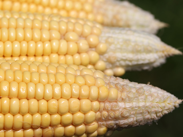 Corn in the dough stage, at 39%, is only about half the rate of one year ago. (DTN file photo by Pamela Smith)