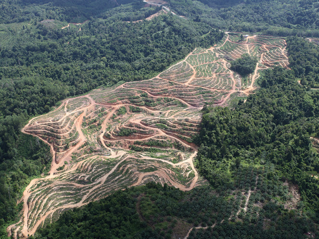 Purdue University study finds biofuels production in the United States was responsible for a fraction of 1% of deforestation in Malaysia and Indonesia. (Photo courtesy of mongabay.com)