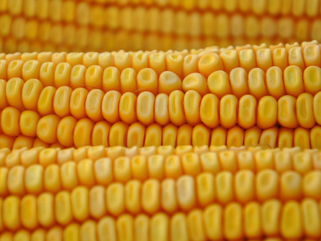 Farmers may want to consider making some 2019 corn sales while the December 2019 futures contract is trading near $4 amid the possibility of higher corn acreage next year. (DTN Photo by Katie Dehlinger)