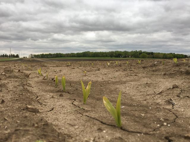 Corn seedlings in the Midwest show some frost burn on leaf tips and yellowish color because they need more sunshine. (DTN photo by Pamela Smith)
