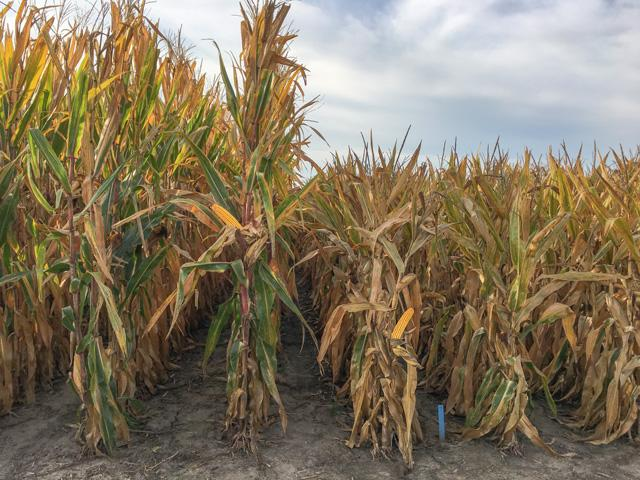 Short stature corn is a new product Bayer Crop Science is proposing as a way to better utilize inputs and endure adverse weather such as derechos. Corn on right is short stature corn being tested at Bayer's Jerseyville, Illinois, research farm. (DTN photo by Pamela Smith)