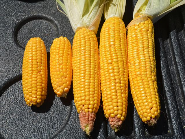 Late-summer drought resulted in a sharp difference in corn development in the same field near Rockwell City, Iowa in 2020. (DTN photo by Matthew Wilde)