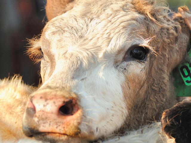 Both the feeder cattle market and fat cattle market wished to have a strong week last week, but with the distraction of external factors, the market was left to trade steady to somewhat weaker. (DTN/Progressive Farmer file photo by Jim Patrico)