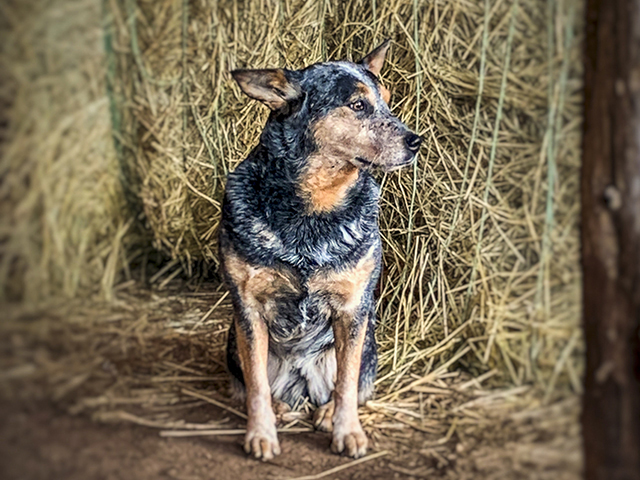 Blogger Meredith Bernard says her four-legged friends are one consistent source of companionship, love and joy, which makes them worth their weight in gold. (DTN/Progressive Farmer photo by Meredith Bernard)